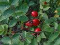 Zralé šípky patří k nastupujícímu podzimu.
