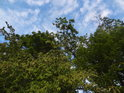 Oblačné nebe nad zelenými stromy.