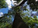 Kmen buku ve svahu, jednoho mezi mnoha dalšími stromy.