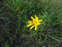 Brouk na žlutém květu.