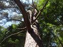 Pokroucená borovice pod vrcholem Ochozy zalitá slunečním svitem.