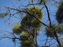 Hezky zelené jmelí proti modré obloze, jen hostící topol opravdu k smrti trpí.