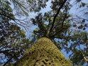 Krásný přímý lužní dub.