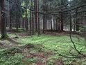 Ve smrkovém lese.