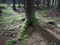 Nesmělé Slunce se dostává do jinak temného smrkového lesa.