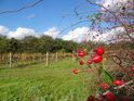Zralé šípky zkrášlují výhled na vinohrad.