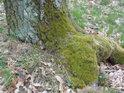 Mechem obrostlá pata stromu.