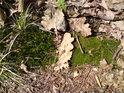 Lesní zátiší s mechy a kapradím uprostřed loňského dubového listí.