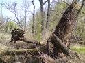 Jeden přes druhého strom tu leží, čas bez ohledu na to vše svým tempem běží.