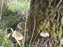 Houbový útok na strom je veden zespoda.