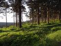 Do smrkového lesa s vysokým borůvčím vstoupit, znamená být plný rosy.