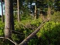 Vysoké borůvčí téměř pohlcuje padlý smrk pod vrcholem Sedloňovského vrchu.