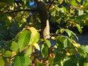 Bukové listí postupně žloutne.