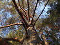Střední borovice se nahoře poněkud kroutí.