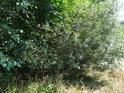 Vrbové křoví na pravém břehu řeky Svratky.