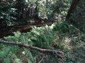 Menší topolová větev padlá přes kapradí.