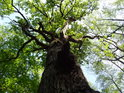 Lesní dub u náhonu Alba nemůže mít příliš širokou korunu.
