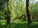Zlomené vrby zpravidla ještě mohou žít a také dlouhá léta žijí.