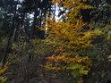 Žlutozelené bukové listy oživují temný smrkový les.