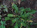 Pampeliškové mlíčí ve smrkovém lese nebývá až tak častým jevem.