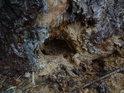 Dřevokaznými larvami načatý smrk se brání smůlou.
