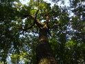 Lesní dub nahoře prakoviký.