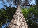 Borovice na kraji lesa mají na volnou stranu větší větve.