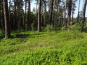 Vzrostlý borový les.