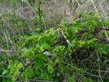 Ostružiní dodává jaru zelenější barvu.
