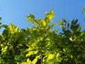 Překrásný zeleno modrý kontrast dubových listů vůči obloze.