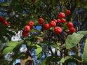 Plody jeřábu, čili jeřabiny.