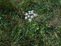 Bílé podzimní květy.