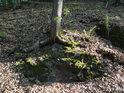 Smrkové kořeny obepínají vrstevnatý balvan.