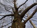 Zimní dub mezi osikami.
