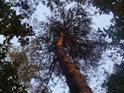 Lomený kmen borovice částečně zalitý Sluncem.