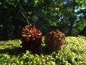 Dvojice borových šišek na mechu zeleném slunečními paprsky prosvětleném.