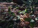 Zelené oddenky plazivých rostlin na uschlém bukovém listí.