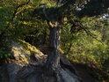 Detail uchycení borovice ve skále.