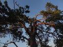 Borovici bez špičky osvětlují na vrcholu poslední sluneční paprsky toho dne.