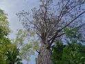 Pohled do koruny mohutné borovice na jihovýchodním cípu chráněného území.
