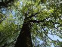 Dub na okraji lužního lesa se prozrazuje svými větvemi na jednu stranu.
