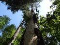 Uschlý kmen stále stojící borovice, napadený dřevokaznými larvami.