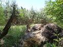 Na borovém vývratu snadno poznáme, že podloží je tu písčité,a č tu stával rybník.