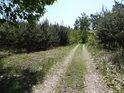 Cesta mezi mladými borovicemi v Barochu.
