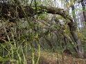 Až na zem ohnutá vrba tvoří jakýsi přirozený most přes malou vodoteč na jižním okraji chráněného území.