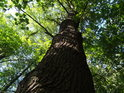 Dub v zajetí jiných druhů stromů.