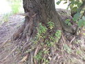 Kořeny vrby běžně vzdušné nebývají, ale když zeminy během let v jejím bezprostředním okolí ubývá, dopadá to i tak.