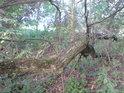 Vrba má tu schopnost, že dotkne-li se její větev, třeba i ulomená země, zapouští kořeny a když je zrovna dost vlhko, podaří se to.