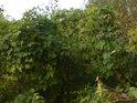 Chmel ve volné přírodě je cizopasník a své hostitele postupně ničí, ovšem když pomneme mezi prsty jeho šišky právě v září, tak jeho vůně nám dává zapomenout na mnohé.