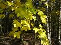 Listí javoru částečně zakrývá plot obory.